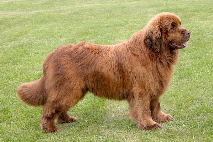 Newfoundland Dog Breed Information Pictures Characteristics Facts Newfoundland Dog Dog Breeds Dog Breeder