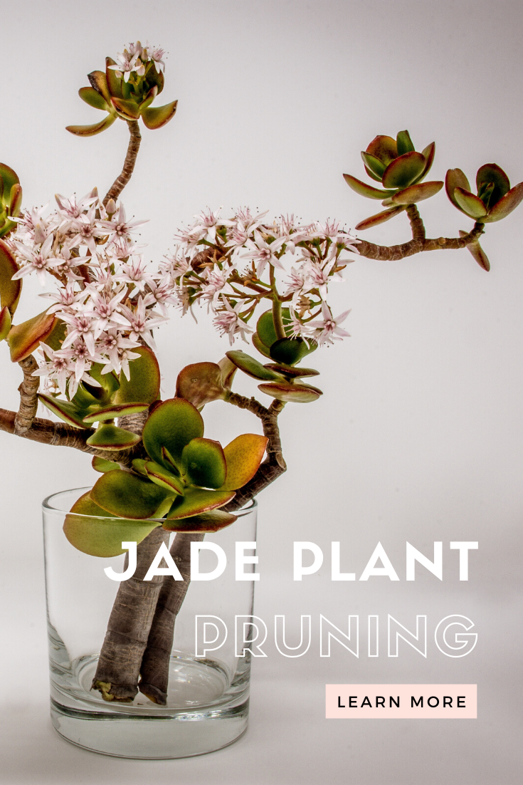 Jade Plant Care Guide From A To Z Jade Plants Garden Nook Jade Plant Care