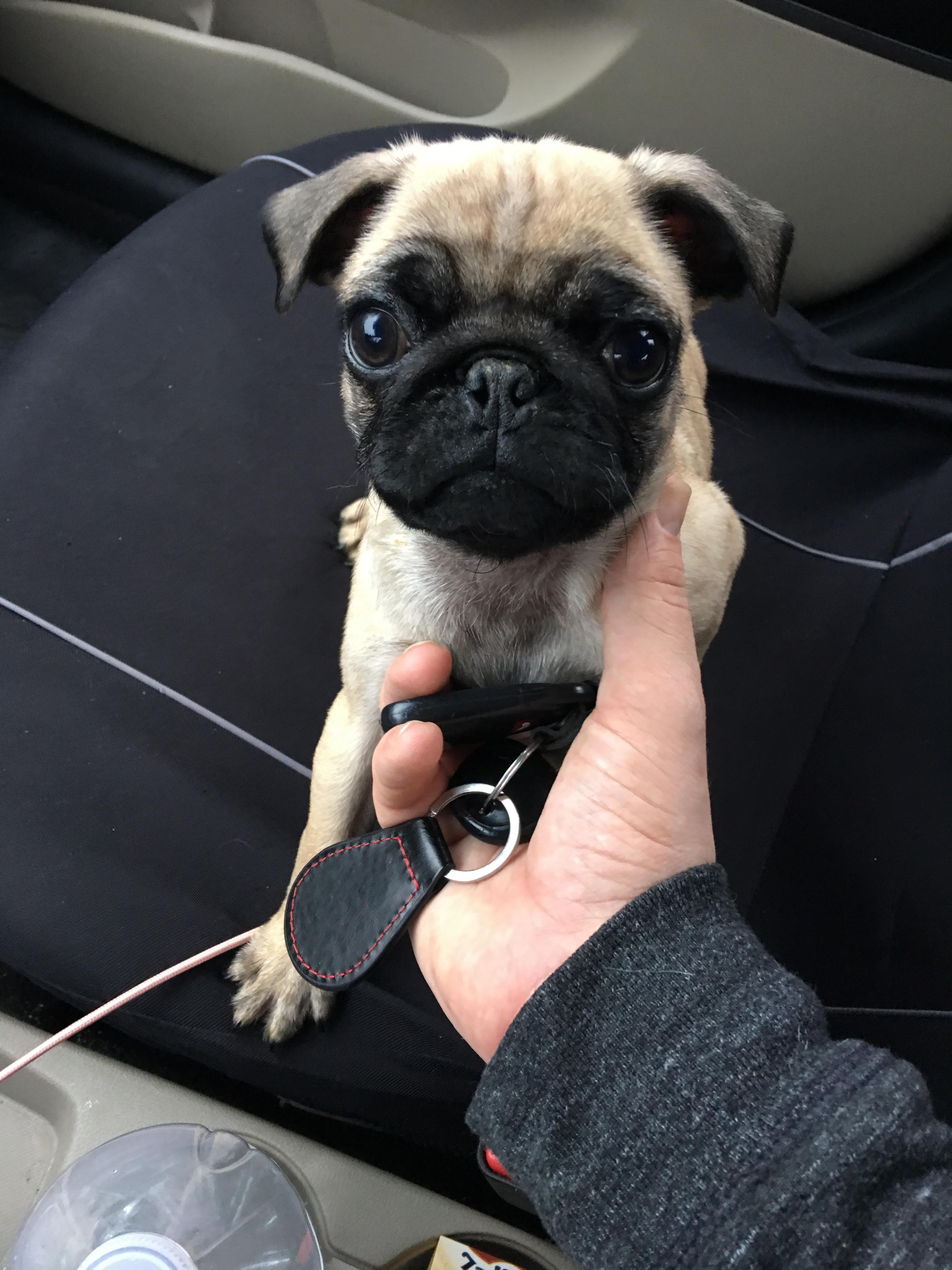 I got my first pug puppy reddit meet gus httpifttt