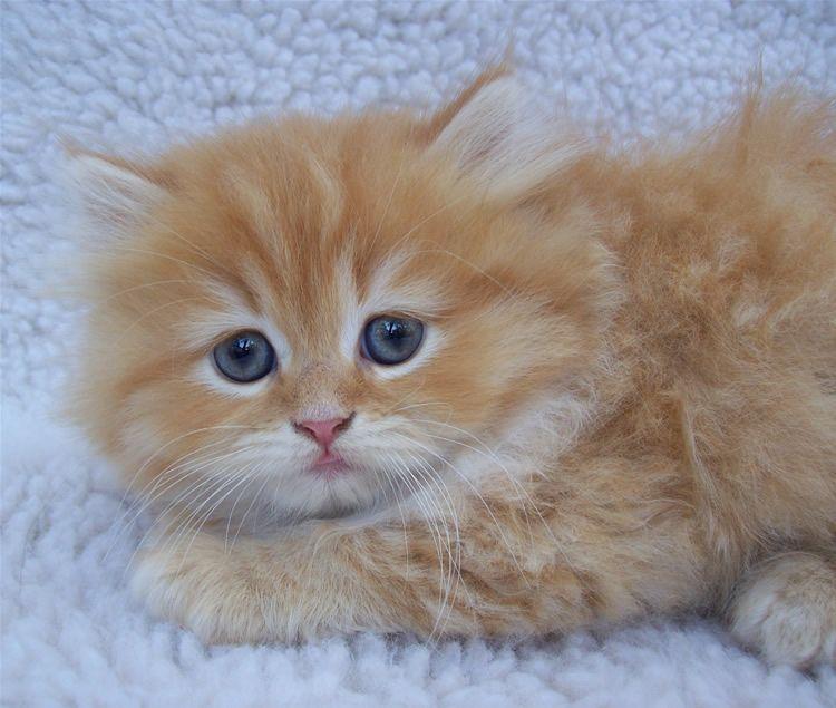 Little Ragdoll Kitten By Sixtiesmama On Deviantart Ragdoll