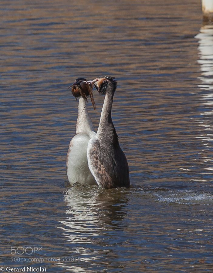 great crested grebe offering of nesting material by gerardnicolai via http://ift.tt/1TJ3DJt