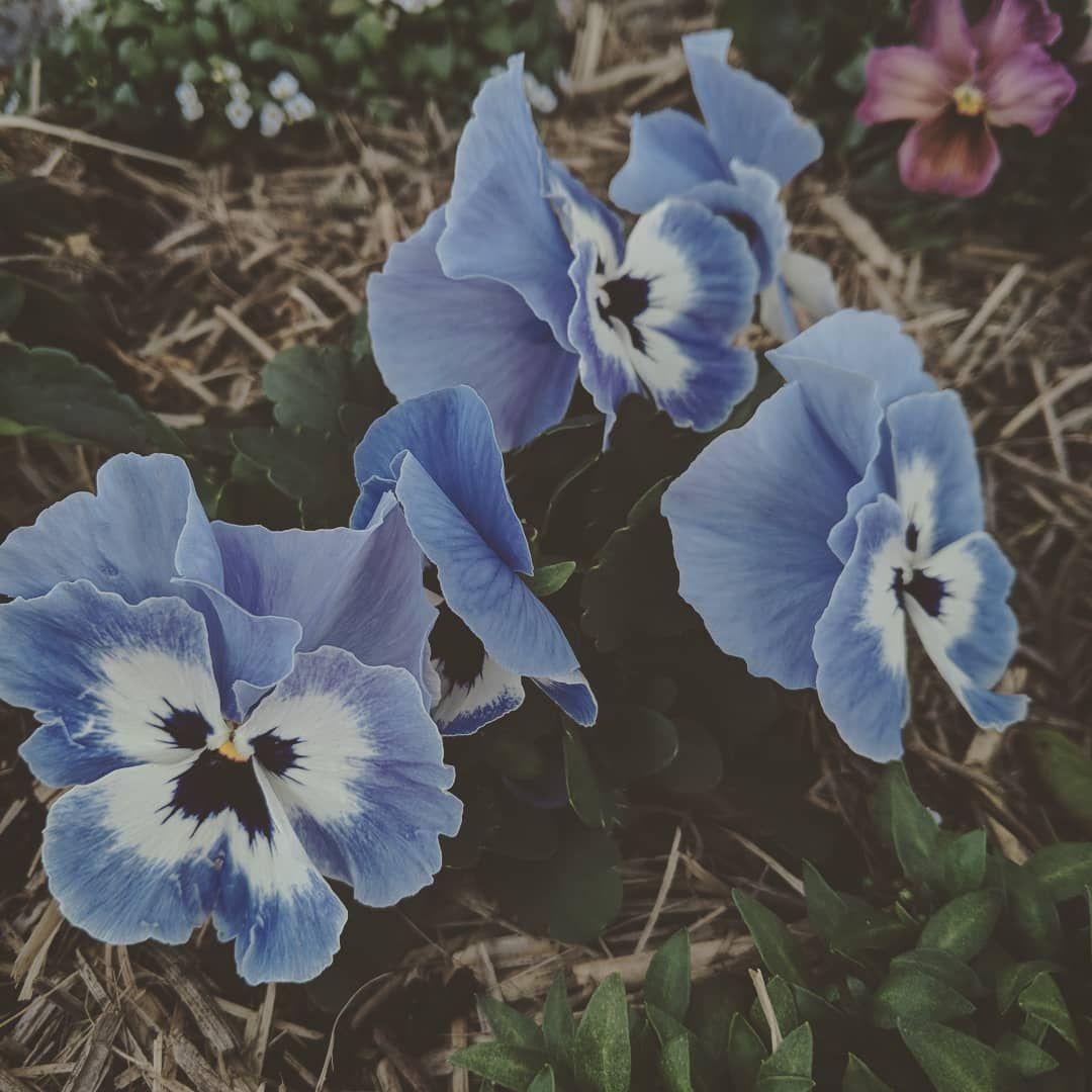 Blue Pansies Bluepansies Pansies Blue Flowers Garden Aesthetic Gorgeous Plants Blue Flowers Garden Blue Flowers Pansies