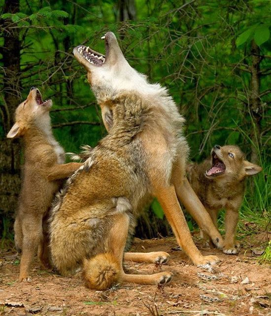 Coyotes- This is a sound you will not forget...end of the day, chores done in the barn - makes you walk a little faster back to the house!