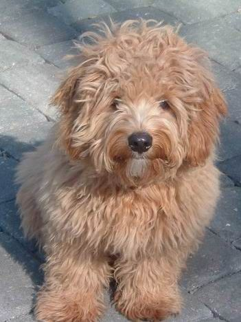 Williams Acres Western Pa 2000 With Images Goldendoodle