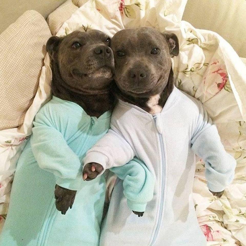Two Pit Bulls In Pajamas Puppies In Pajamas Pitbull Terrier