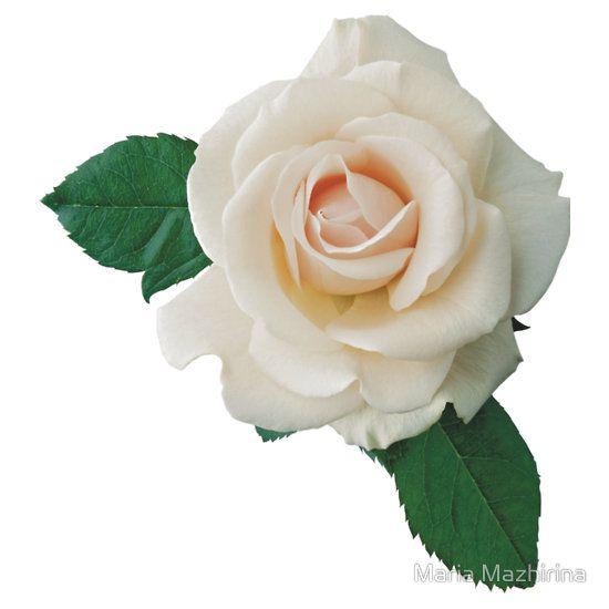 Gentle White Rose Sticker By Olga Chetverikova In 2021 Rose Clipart Rose Flower Png White Roses