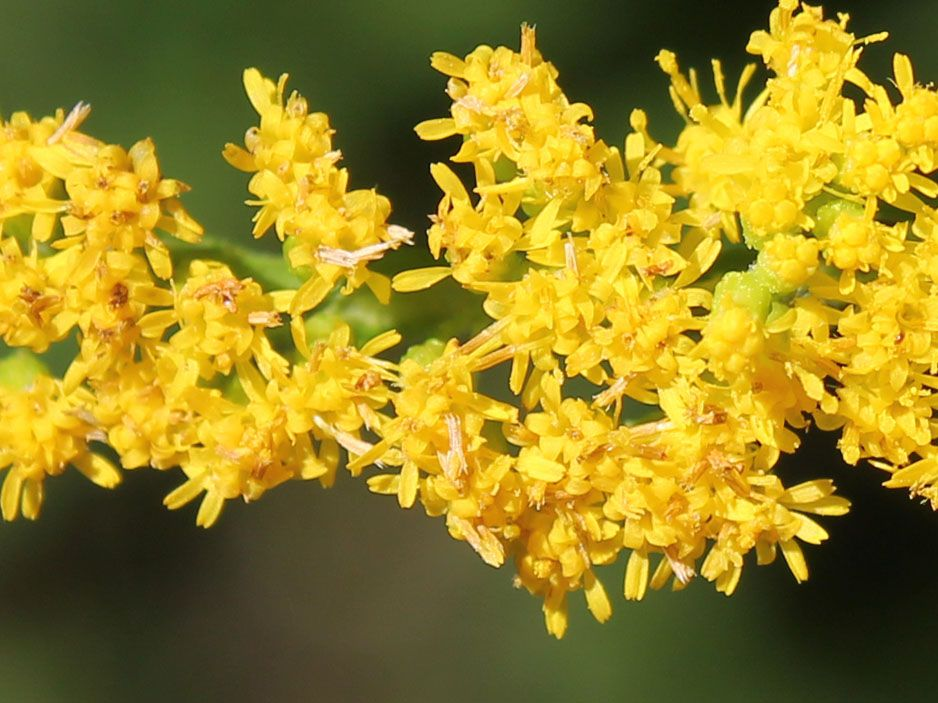 Early Goldenrod Goldenrod Natural Wonders Image