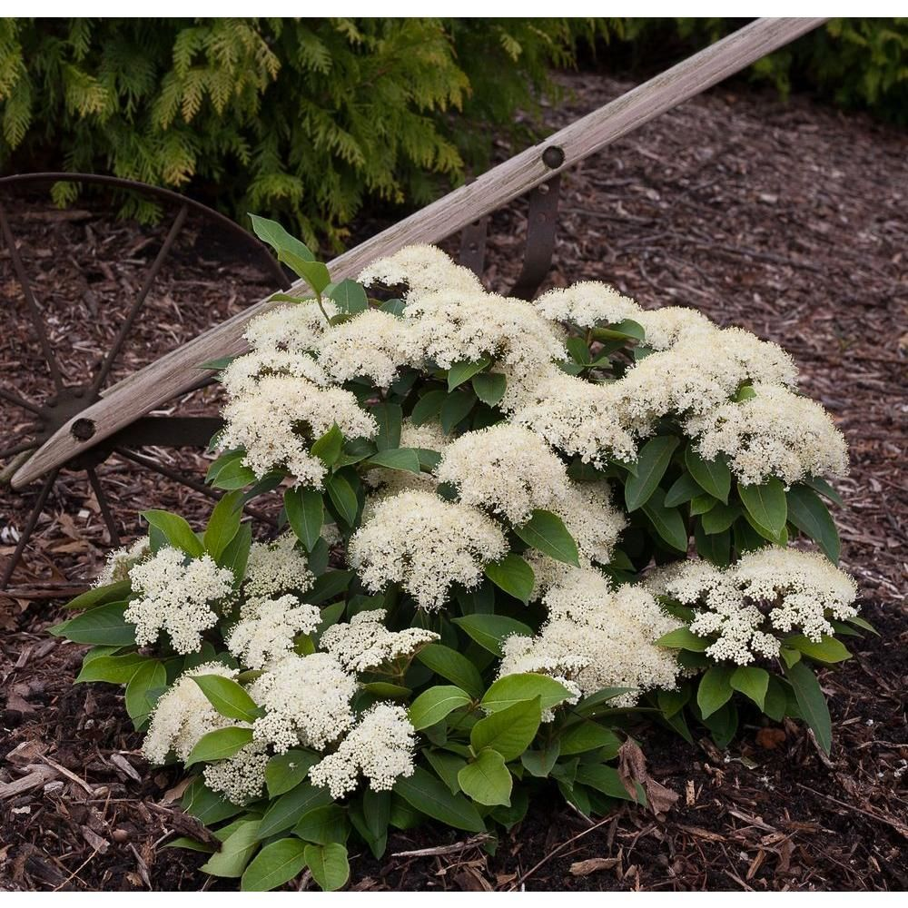 Lil Ditty Witherod Viburnum Cassinoides Live Shrub White Flowers
