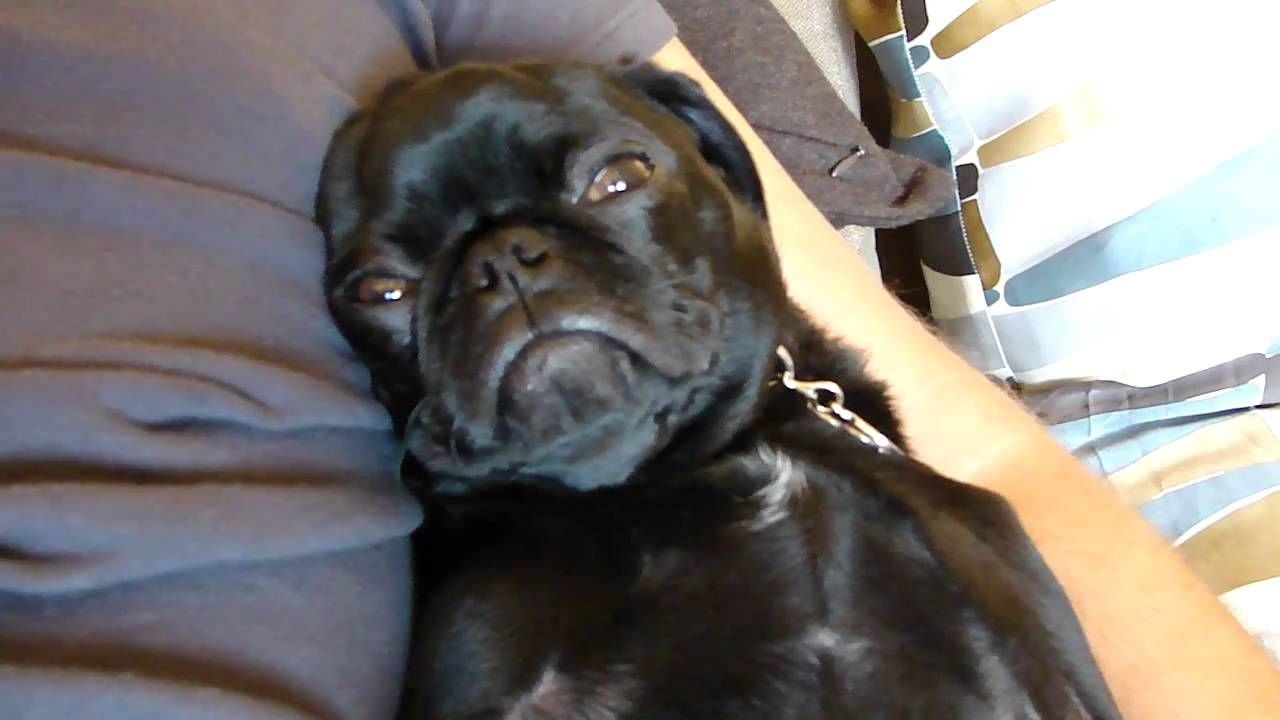 Serious Snoring Pug Puggles For Sale Pugs Pug Puppies
