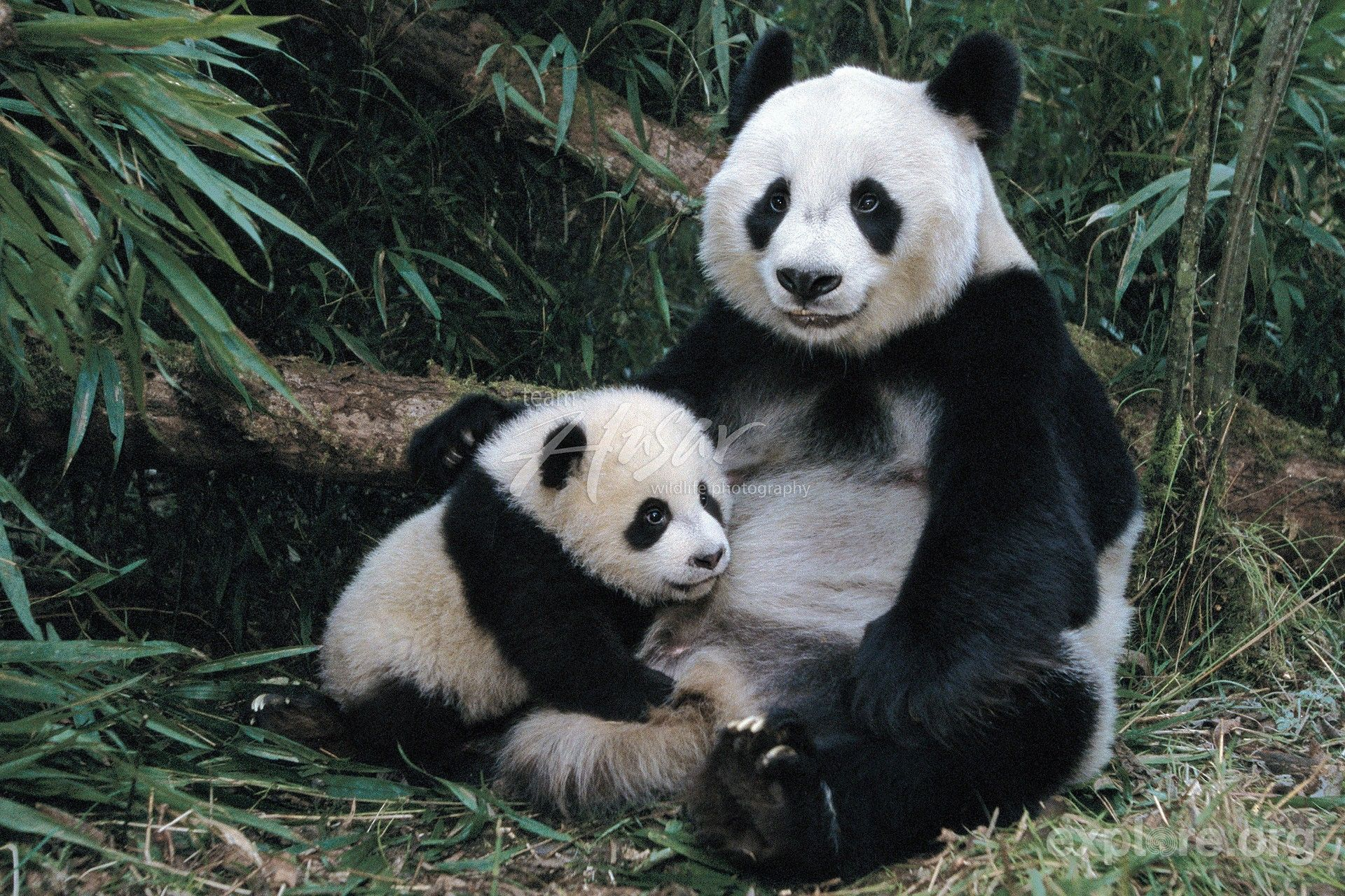pandas pictures | Giant panda mom & cub in a bamboo forest ...