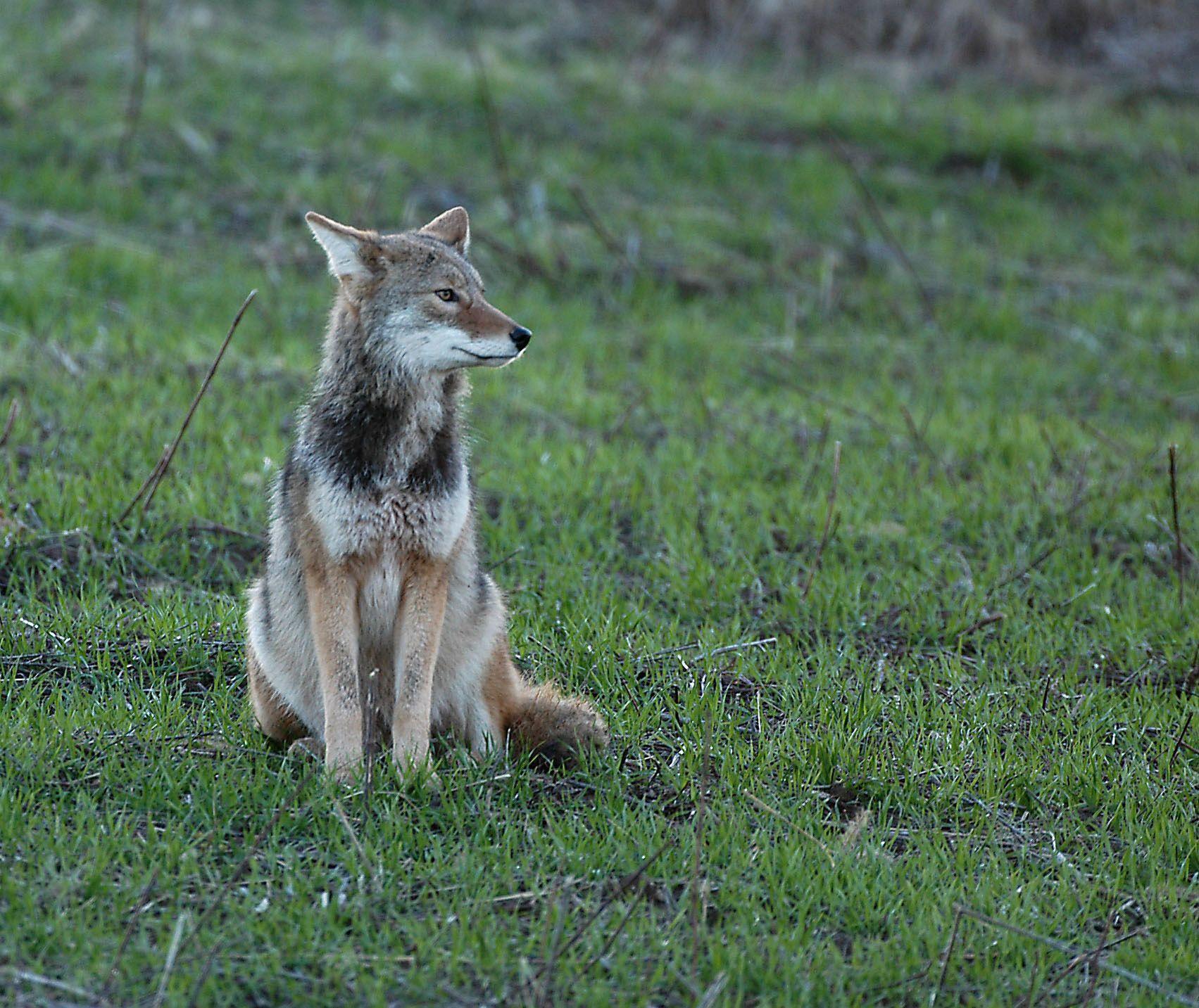 Ohio mammals: coyote