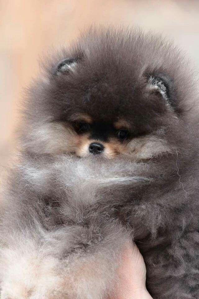 Pin By Christy Mata On Spitz And Pomerania Pomeranian Puppy Fluffy Animals Pomeranian Dog