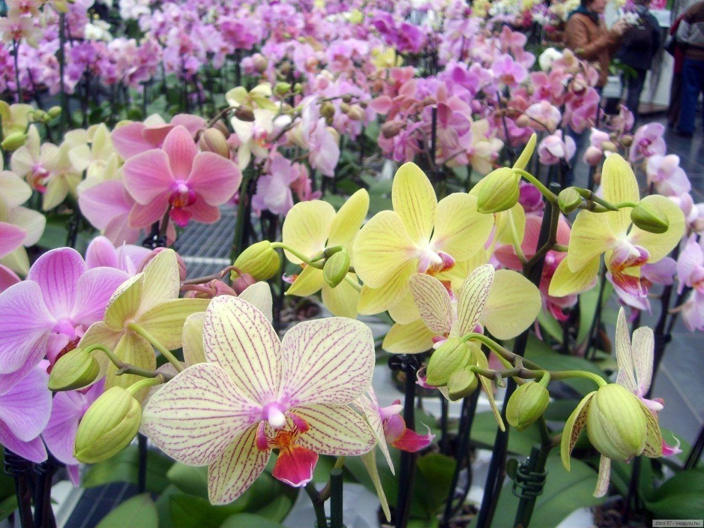 орхидеи фото расцветки сегодняшний