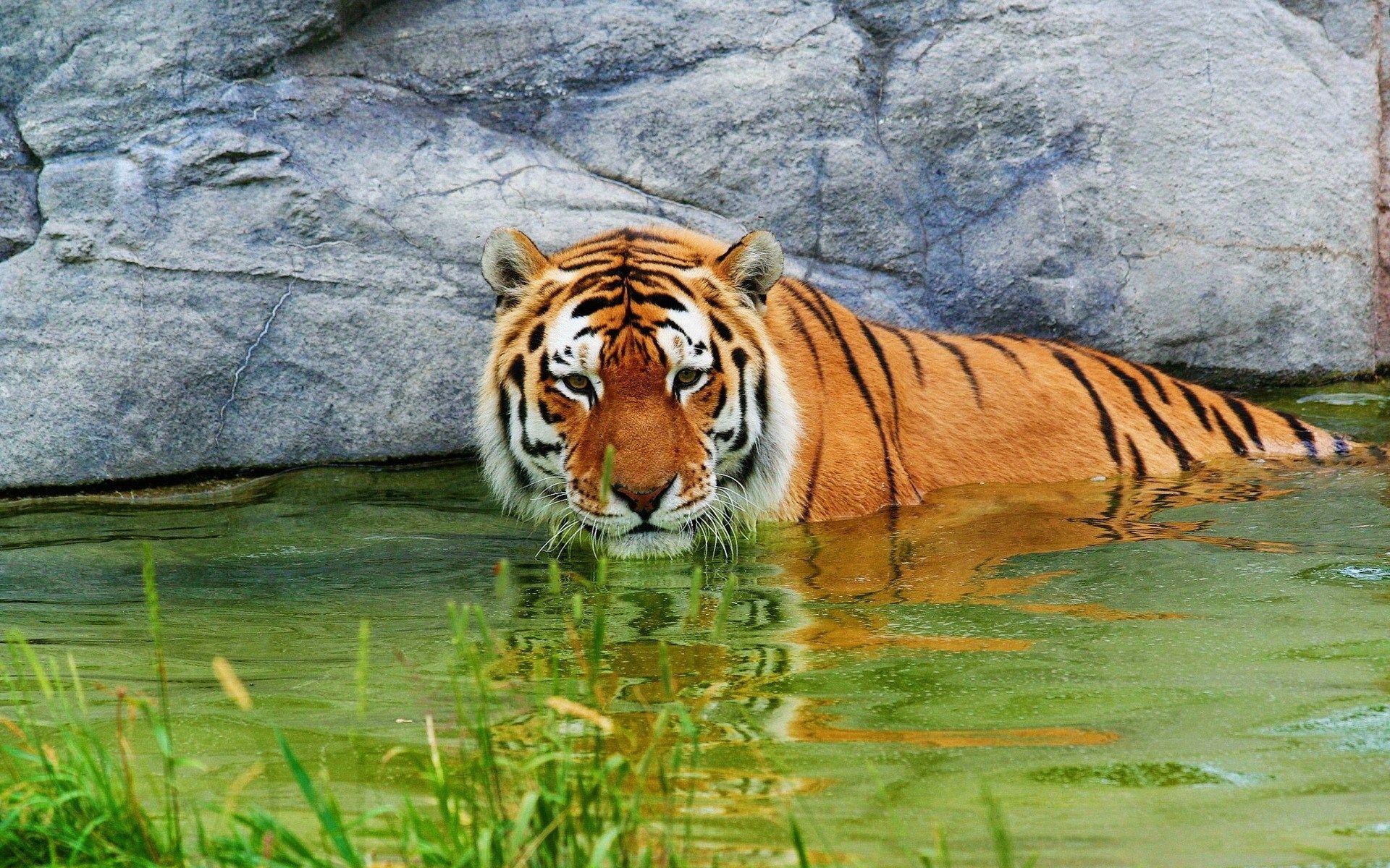 backgrounds high resolution: tiger backround, 761 kb - landon
