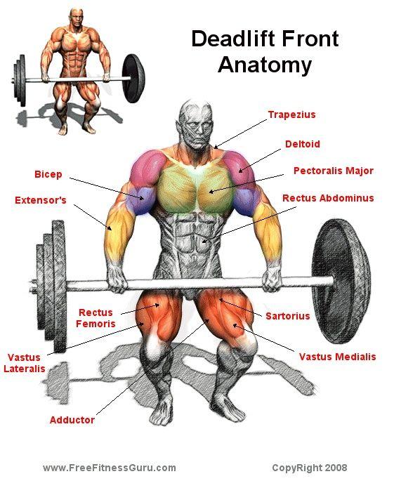 Deadlift Muscles Diagram Deadlift The deadlift ...