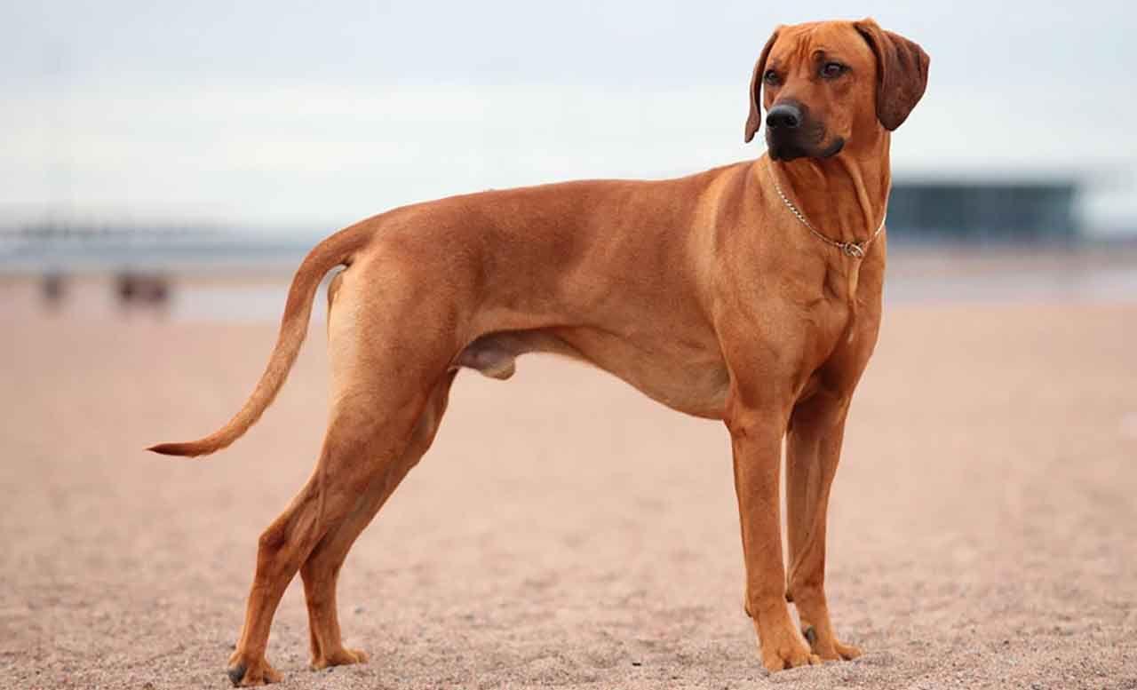 Rhodesian Ridgeback Information Dog Breed Facts In 2020 Dog Breeds Rhodesian Ridgeback Whippet Dog