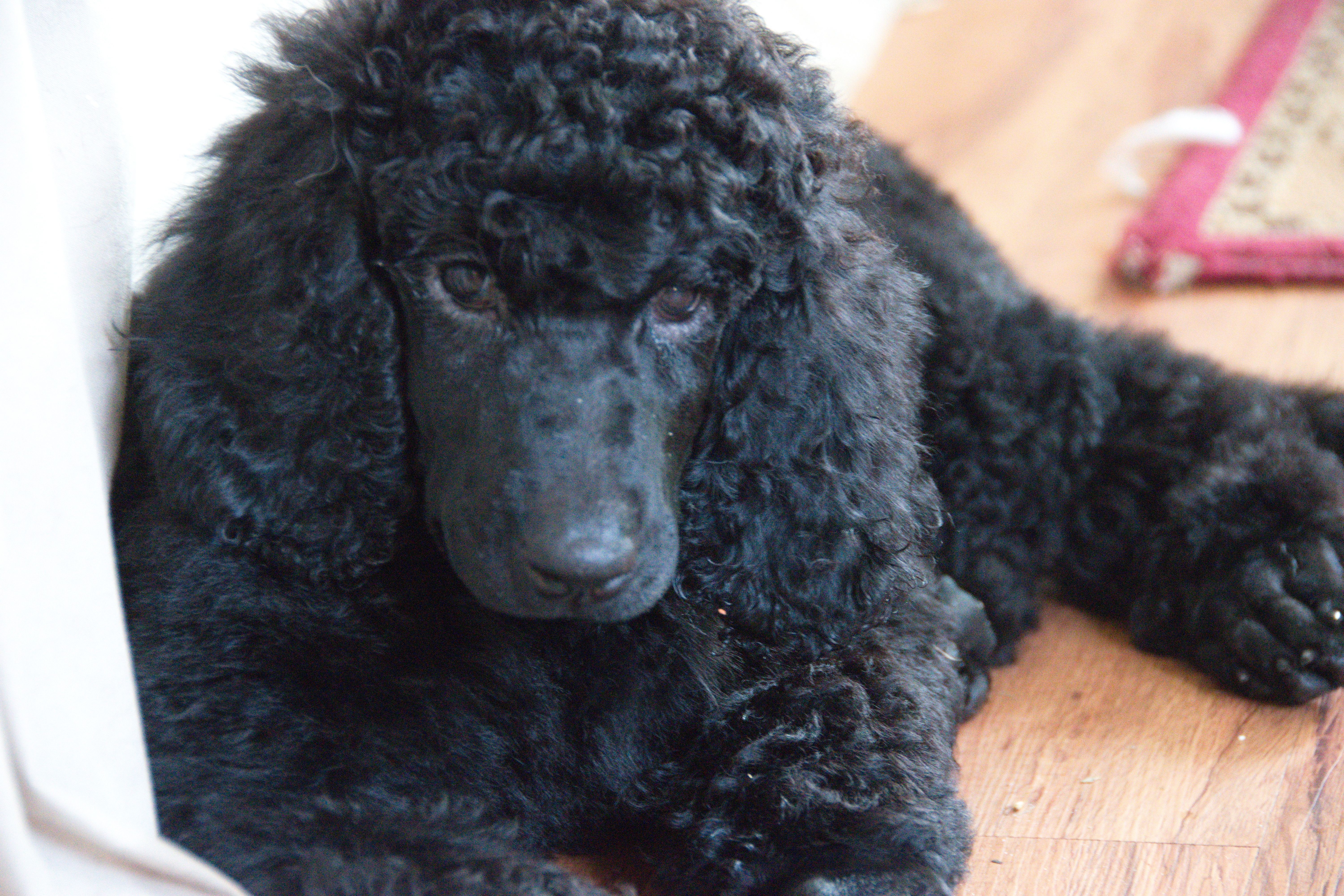 Breed Standard Poodle Gender Female Registry Akc Personality