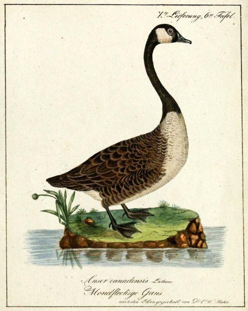 canada goose natur