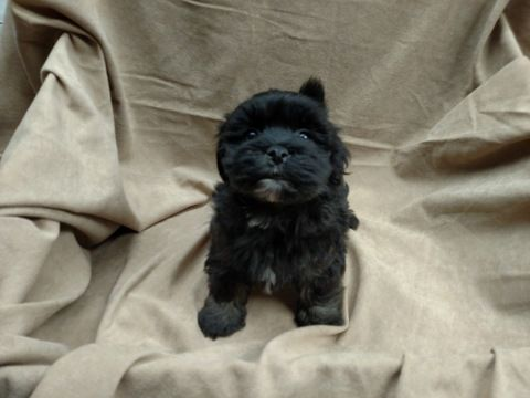 Havanese Puppy For Sale In Winston Salem Nc Adn 49221 On Puppyfinder Com Gender Female Age 5 Months Old Havanese Havanese Puppies Puppies For Sale