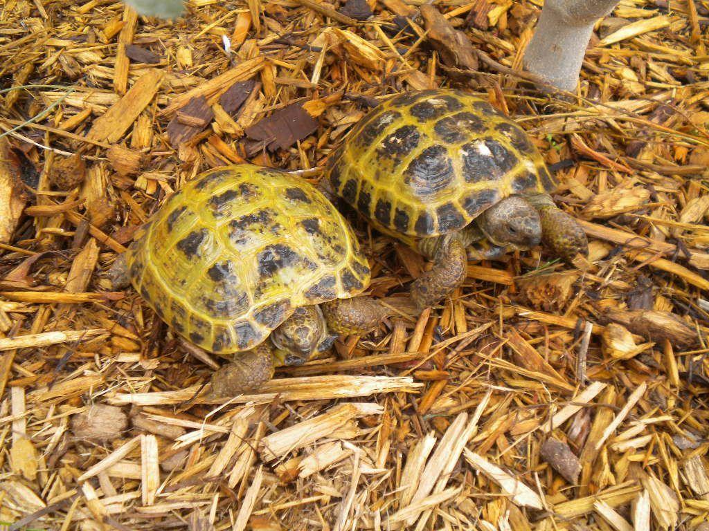 Russian tortoises tortoise diet pinterest russian tortoise russian tortoises nvjuhfo Gallery