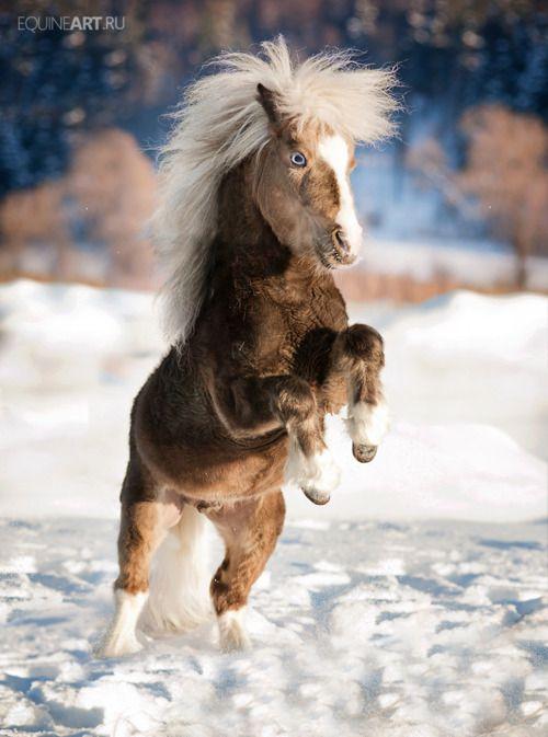 Snow Dancing Author Lynkid Miniaturpferde Hubsche Pferde