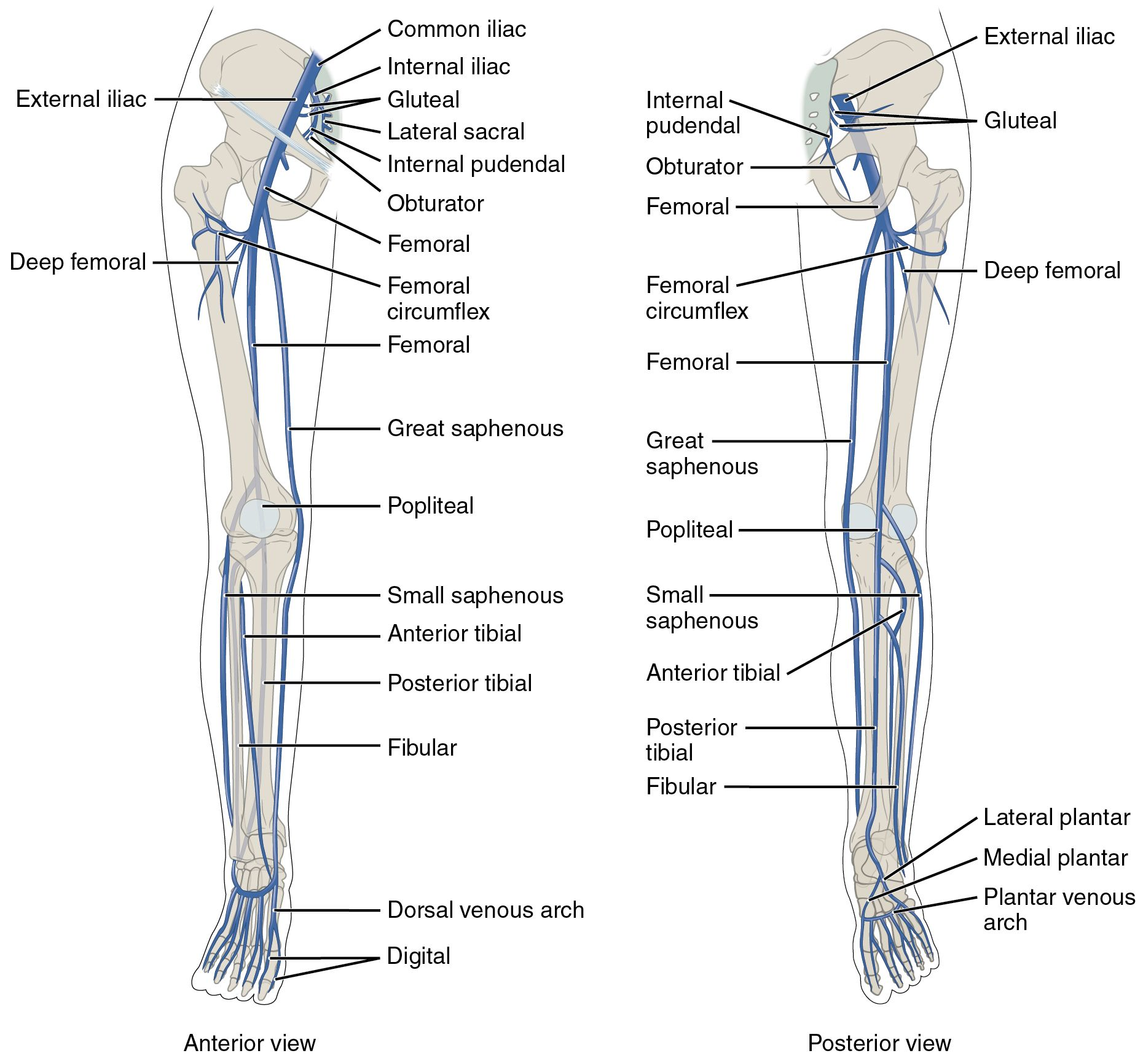 The left panel shows the anterior view of veins in the legs, and the ...
