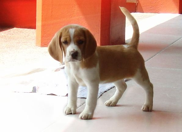 Criadero Beagle Bosque De Niebla Beagle Facts Beagle Beagle