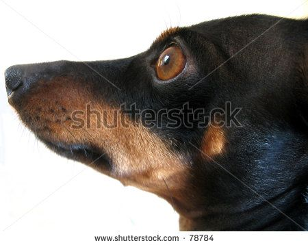 funny dachshund pictures   Miniature Dachshund And Miniature Pinscher Mix Stock Photo 78784 ...