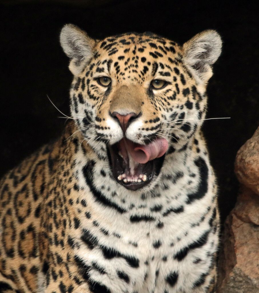 jaguar Krefeld BB2A5517