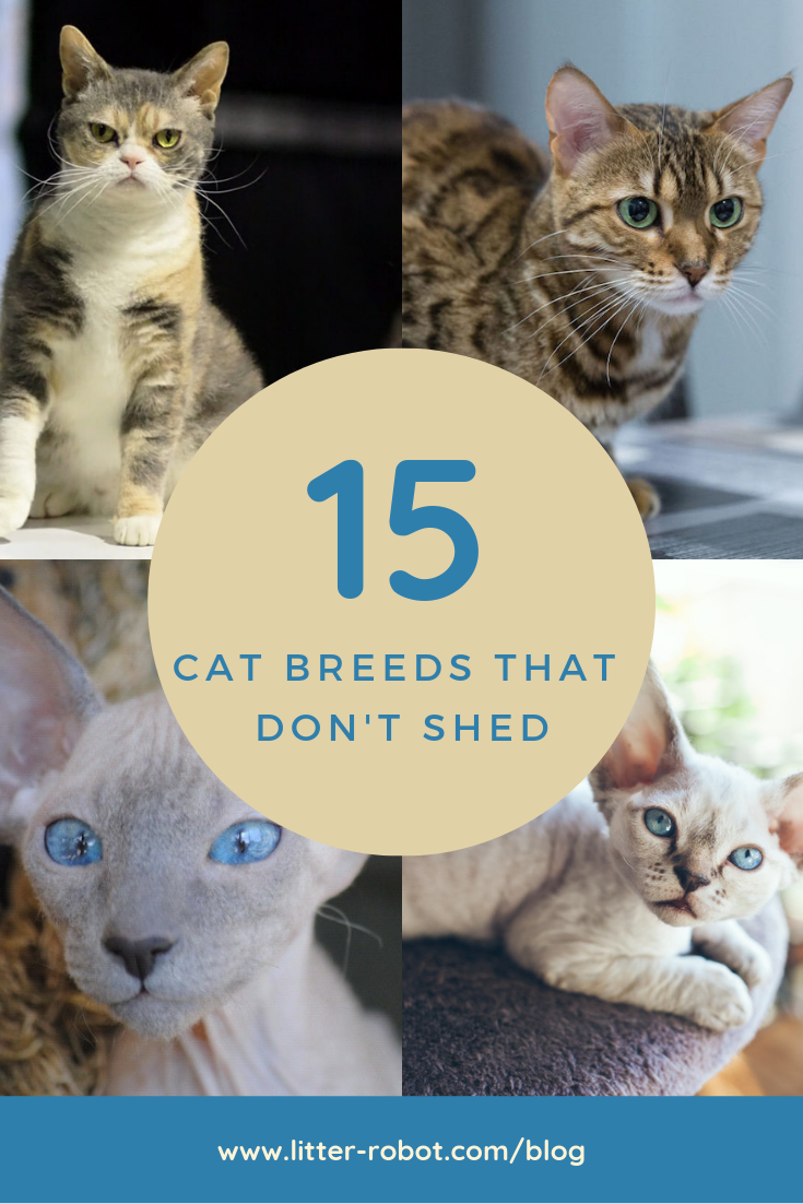 Cats That Don T Shed 15 Breeds Learn More On Litter Robot Blog Cats That Dont Shed Cat Breeds Cat Breeds Hypoallergenic