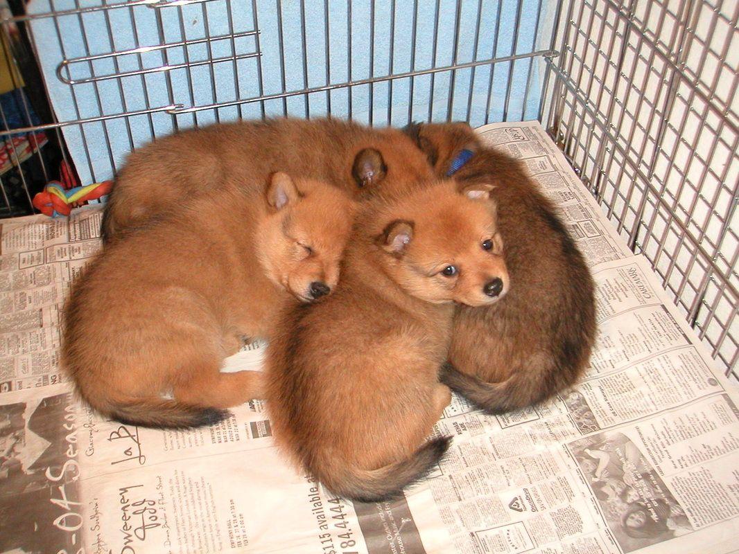 Puppies Dog Breeds Spitz Dogs Finnish Spitz