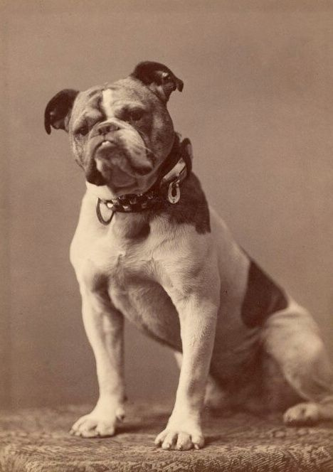 Photograph Of The Original Handsome Dan The First Yale Bulldog