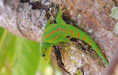 Image Result For Cap Vert Animaux En Danger Vert Image Lizard