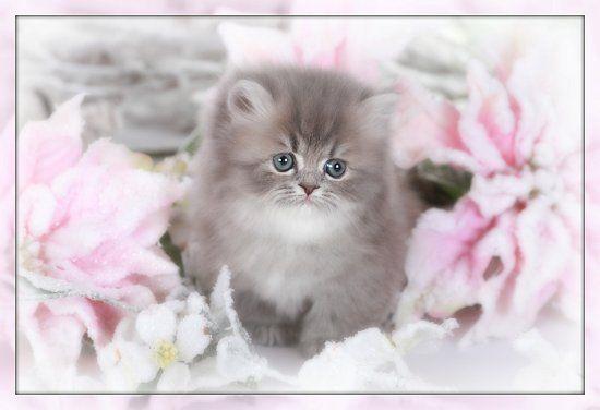 Chinchilla Blue Golden Teacup Rug Hugger Kitten For Sale