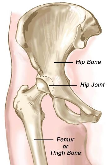 Pictures of the human skeletal system hip joint anterior or pictures of the human skeletal system hip joint anterior or front view broken femer neck ccuart Choice Image