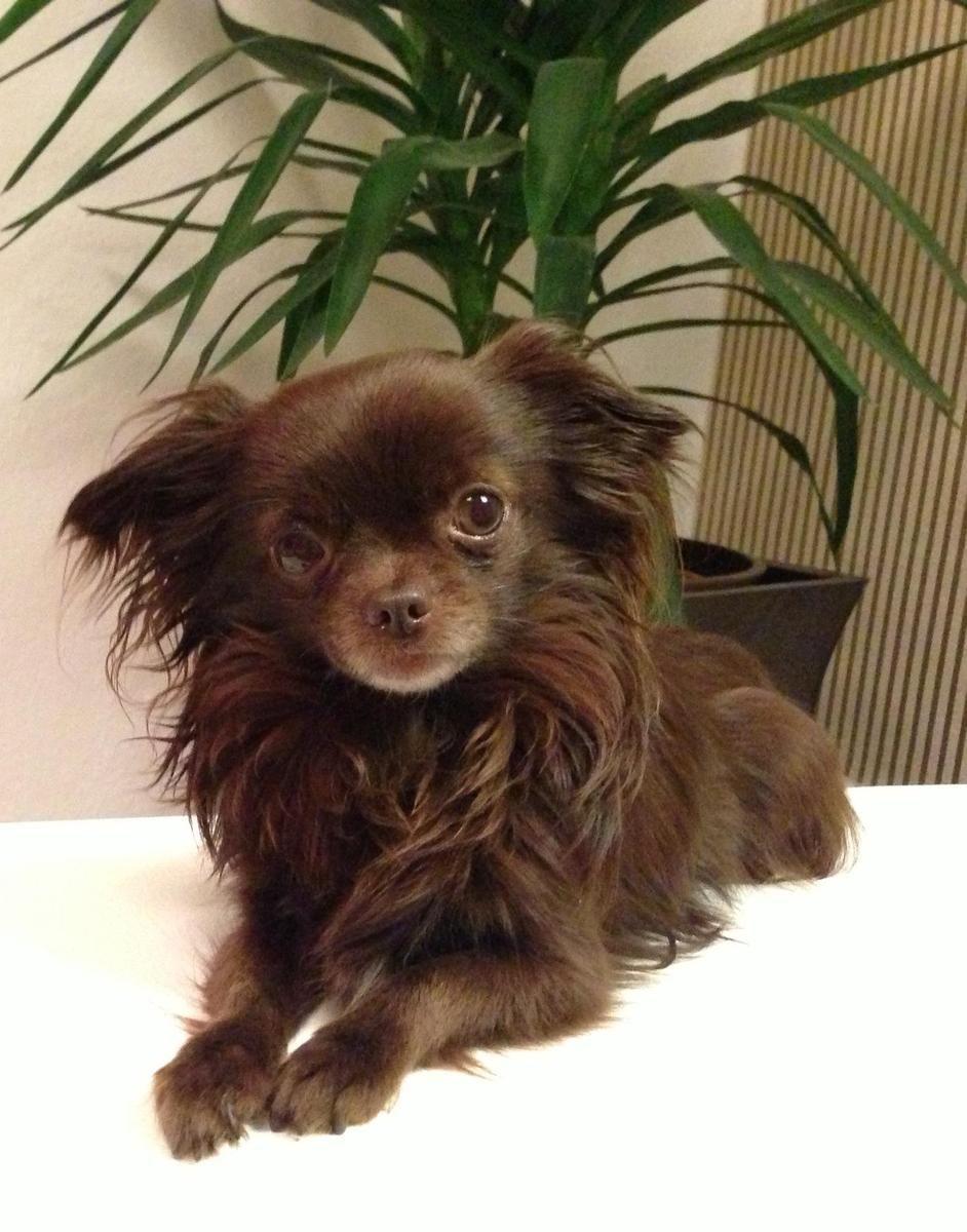Wunderschoner Schoko Mini Chihuahua Kein Koln Chihuahua