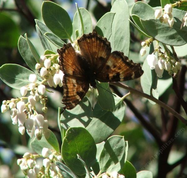 Arctostaphylos manzanita Dr. Hurd Manzanita Tree, Northern California Manzanita