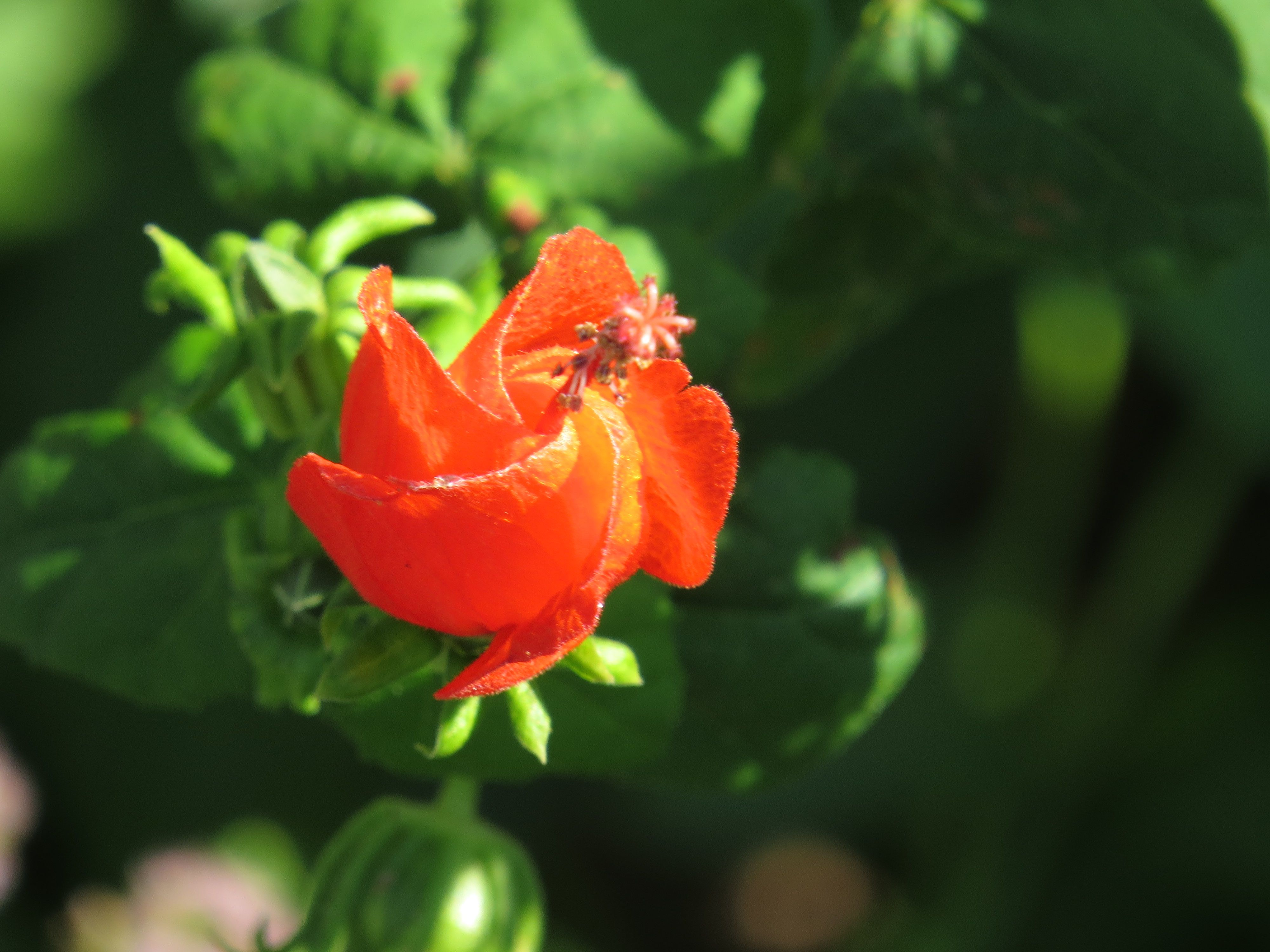 tiny red flower, playing with the macro on the camera