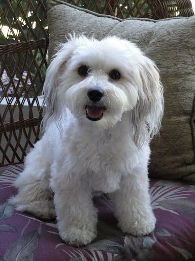 Tasha My Yorkiebichon Mix Shes Soooo Cute O Doggies