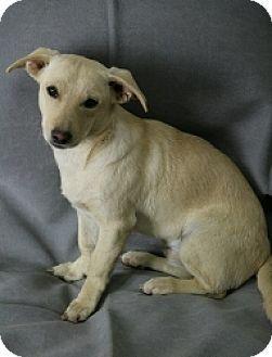 Mesa Az Chihuahua Mix Meet Chronos A Puppy For Adoption I Am