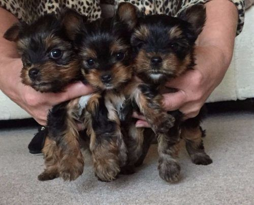 Tiny Yorkshire Terrier Puppies For Sale Yorkshire Puppies