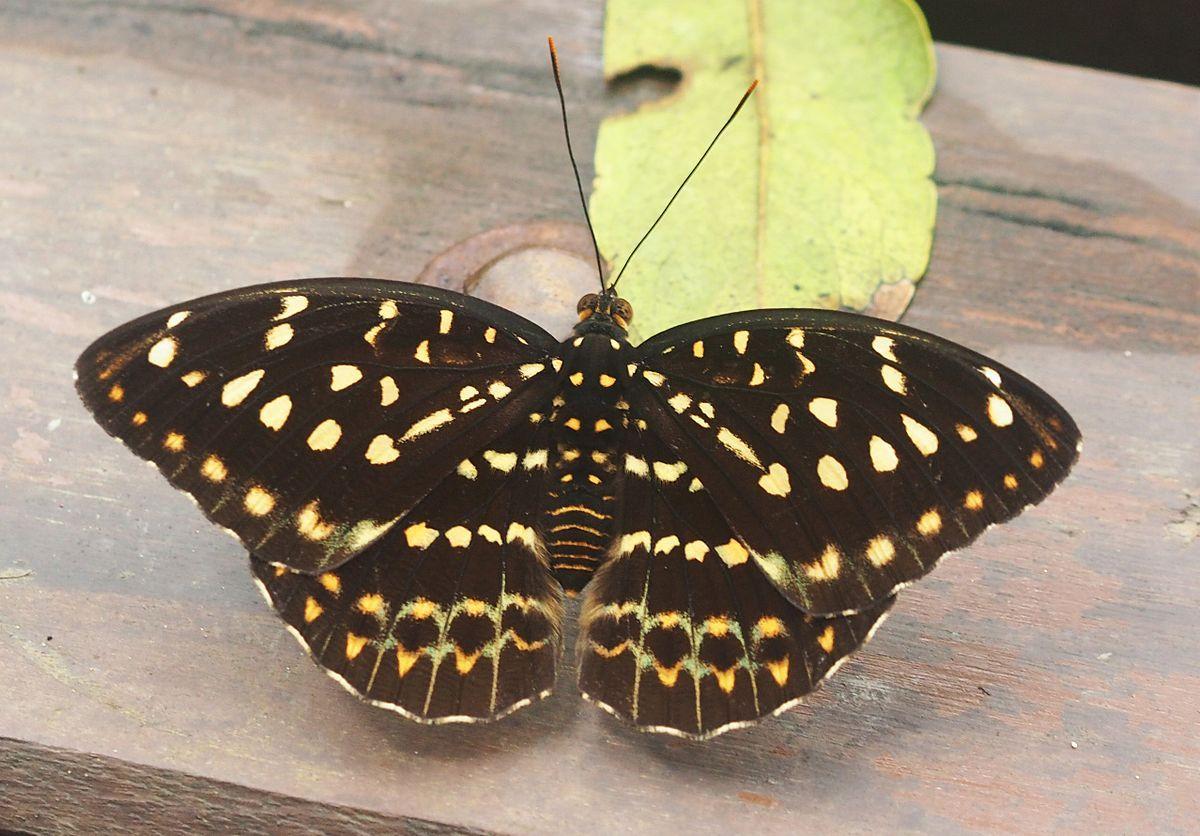 Archduke Butterfly Lexias Pardalis Female
