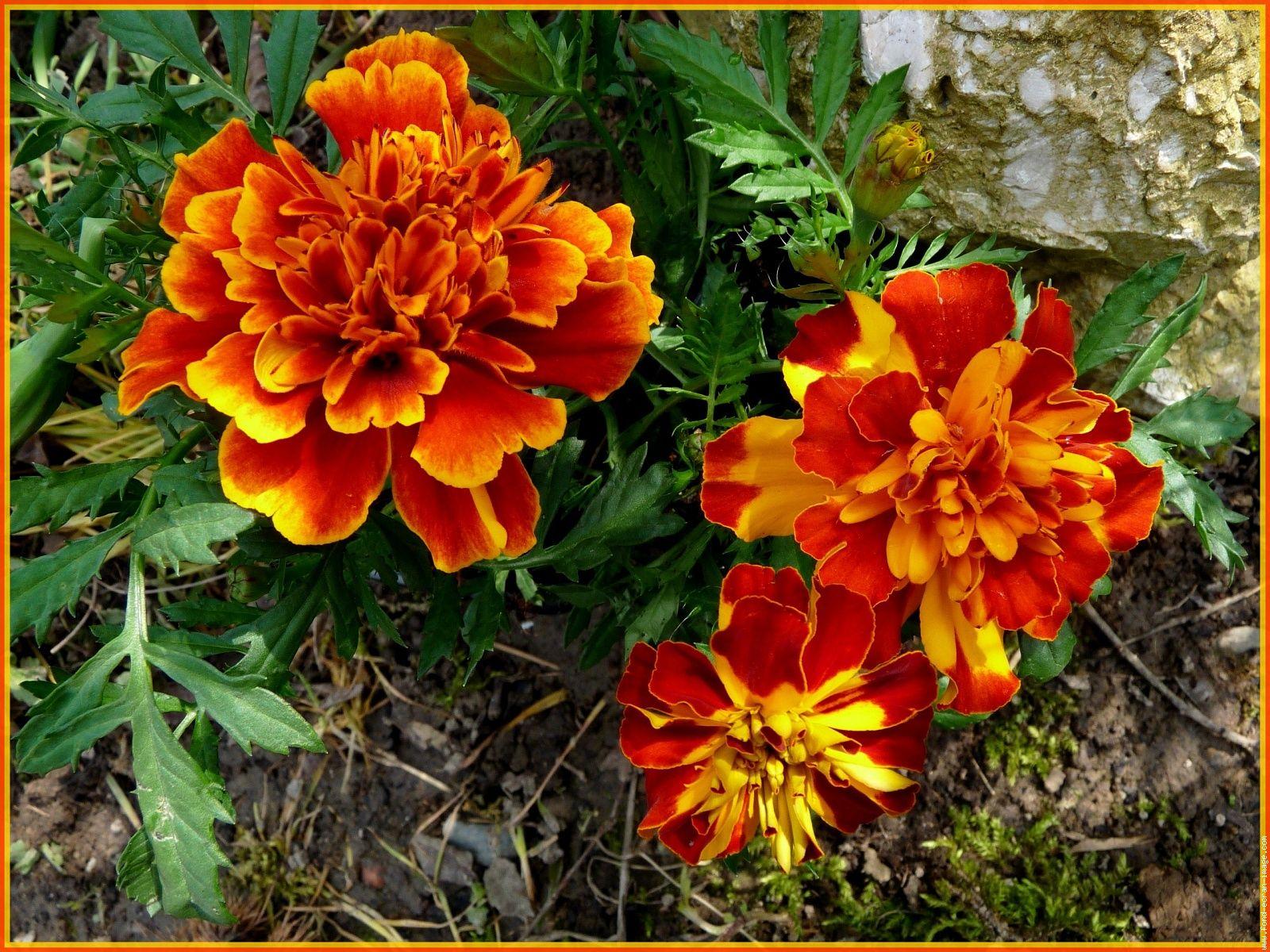 fleur illet d inde l 39 illet d 39 inde tagetes patula appartient une esp ce de plantes. Black Bedroom Furniture Sets. Home Design Ideas