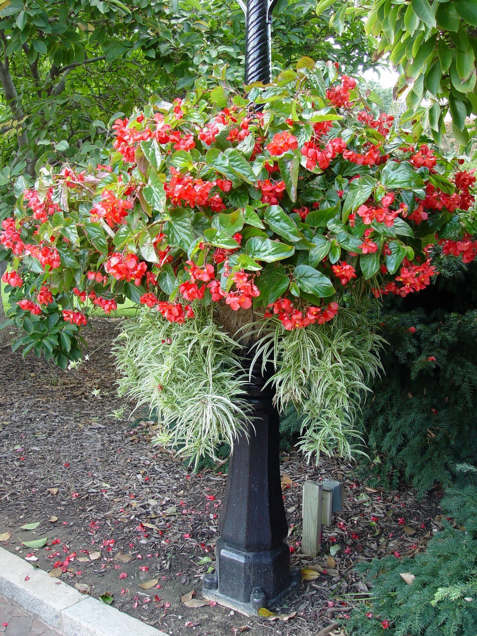 basket.begonia.dragonwing   Flower bed   Pinterest   Flower ...