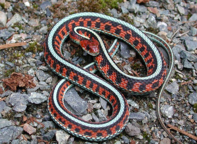 California Red Sided Garter Snake With Images Garden Snakes