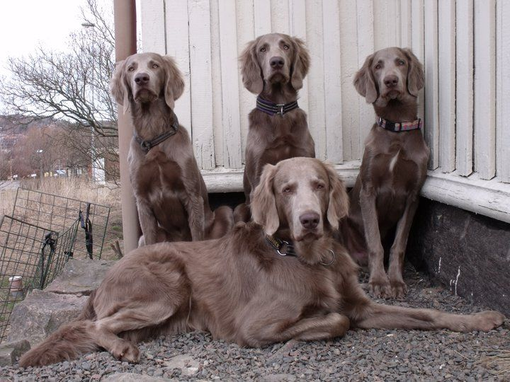 Colray Reg'd Weimaraners - The Longhaired Weimaraner***possible stud service for our Luna!!!