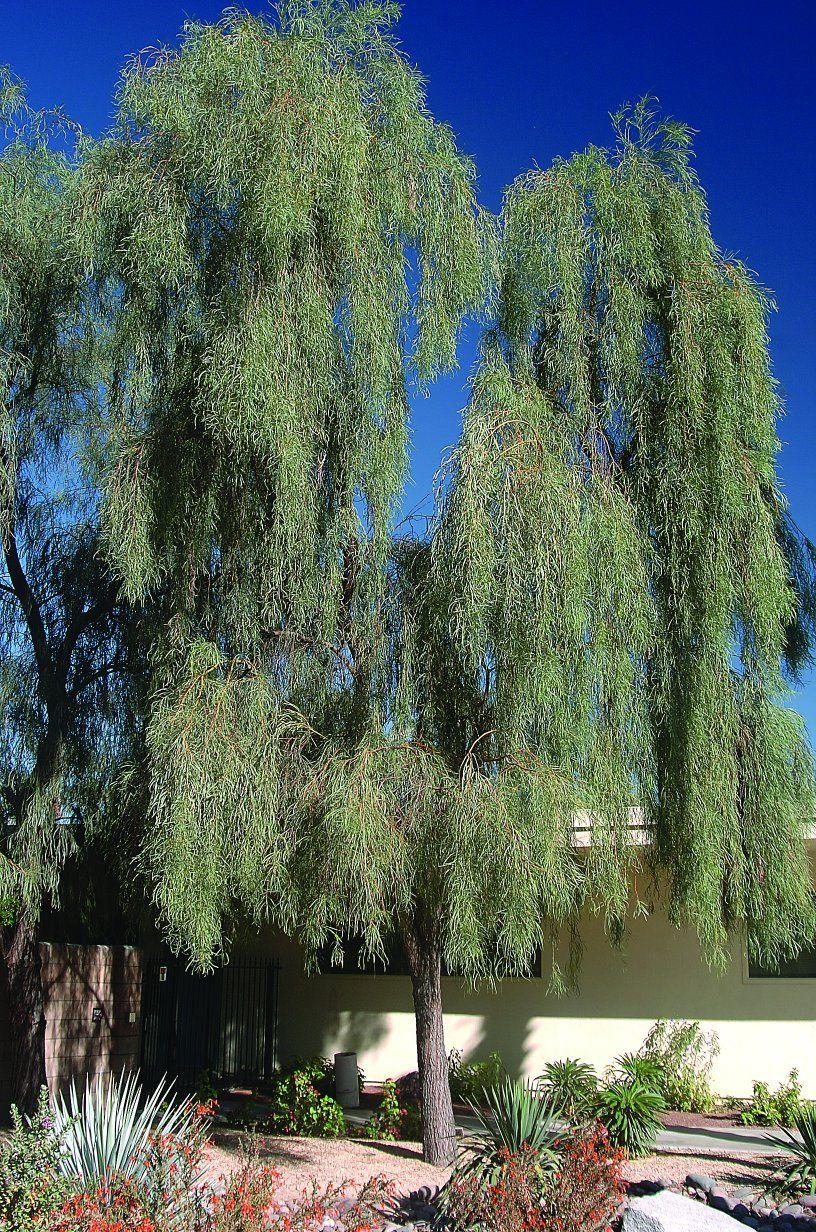 Willow Acacia Acacia Salicina Plants That Can Grow In Vegas