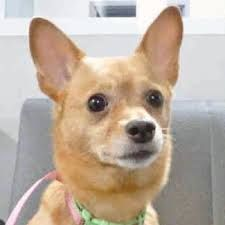 Short Hair Pomeranian Chihuahua Mix My Next Sweetheart