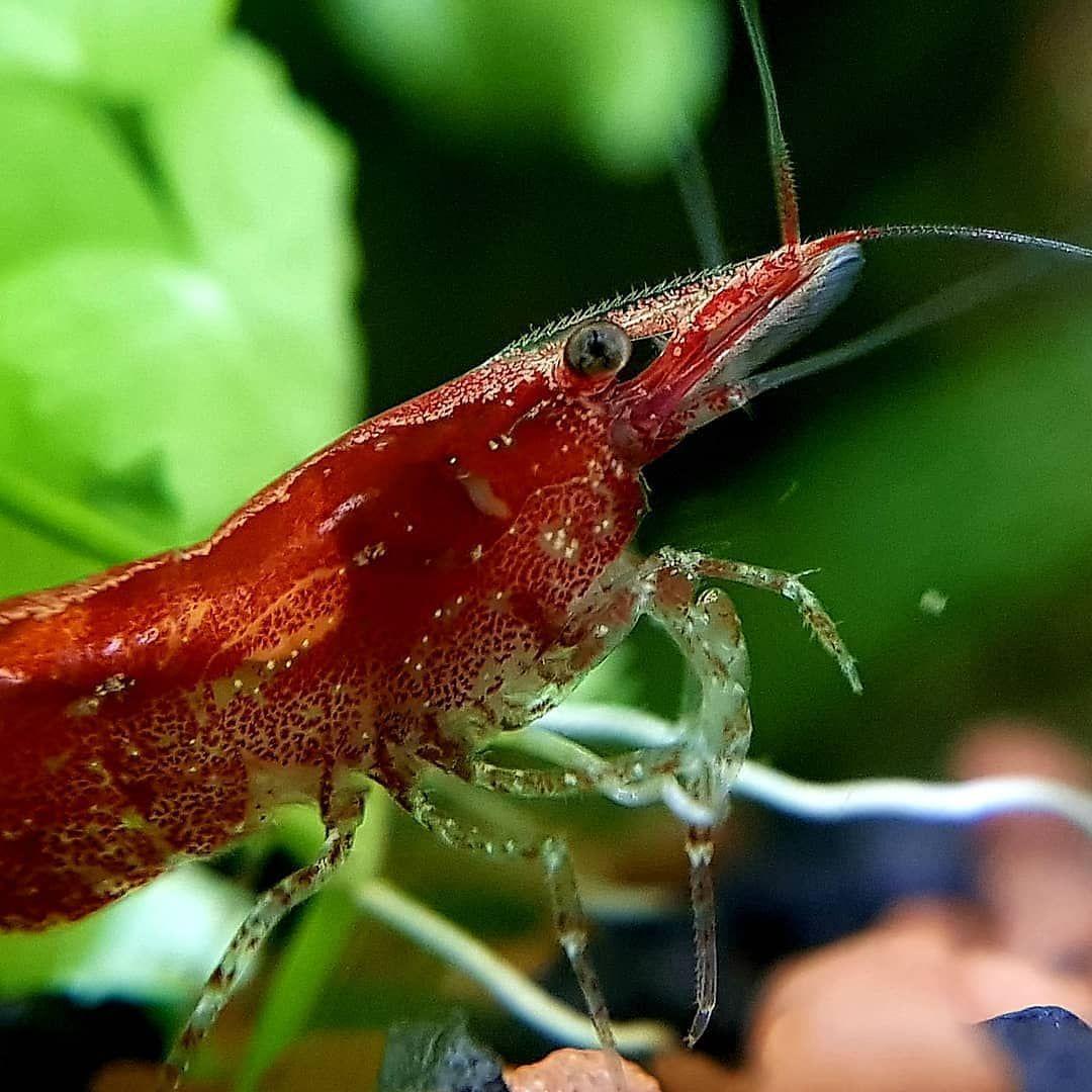 Freshwater Fish Community On Instagram Repost From My Aquarium Blog Macro Of A Beautiful Red Fire Shrimp In 2020 Freshwater Fish Aquarium Fish Fresh Water