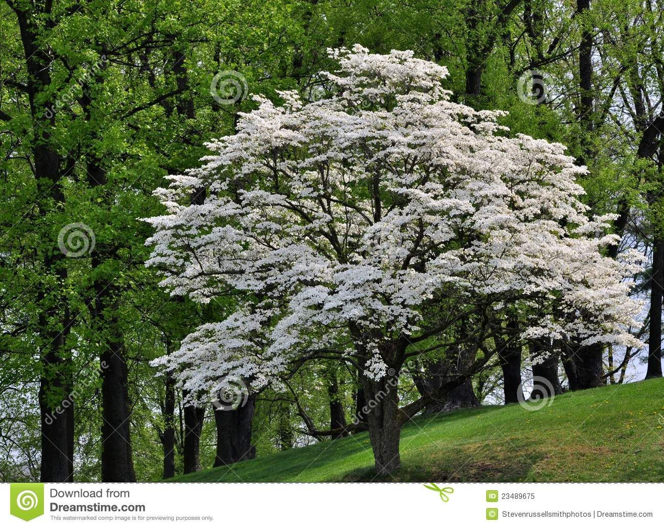 White Flowering Dogwood Tree (Cornus Florida) Royalty Free Stock ...